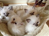 Birman Cats are