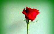 Црвена ружа