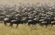 A real wildebeest stampeede