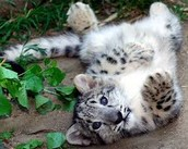 This is a snow leopard in its natural biome