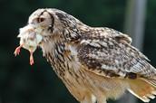 owls eat misce