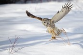 Barred owl going in for its prey