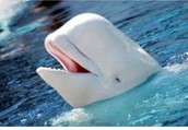 Over/Under Population of Beluga Whales