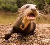 River otter/Nutria de rîo
