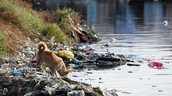 A dog drinking from polluted water