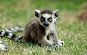 baby ring-tail lemurs