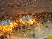 One hundred chickens purcahsed to help raise an income for Khoa and his family.