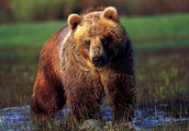 Bear With me While I Tell you About These Furocious Creatures