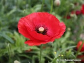 Photo of a Poppy