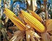 Bt corn when they are ready to be picked