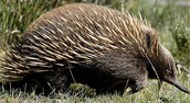 Spiny anteater