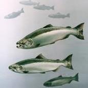 State Fish
