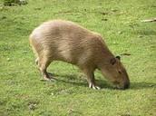 Capybard