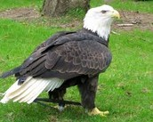 Biggest Bald Eagle