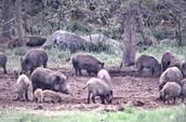 What a Feral Hog looks like