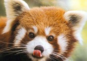 What are Red Pandas?