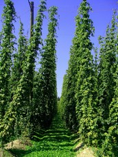 Thorntown Hops Farm to Be Featured in Upcoming Field Day July 23, 2016