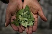 The Coca leaf is still used in Coke