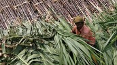 Global Sugar Surplus Coming to an End