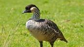Nene Bird