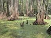 Image of a swamp