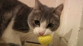 The cat holds a ball in his mouth.
