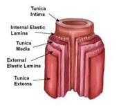Artiers, capillaries