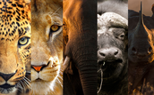 How did these five animals – the lion, elephant, buffalo, rhinoceros and leopard – come to be called the Big Five?