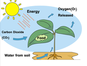 3 parts of photosynthesis