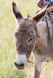 I have a donkey(jenny) like this one