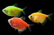 What are Glofish? How are they being used?