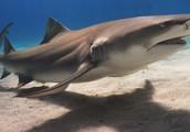 Bora Bora- Lemon Shark