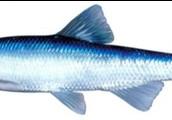 Spotfin Chub