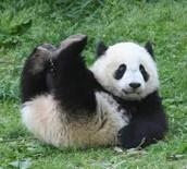 Bebes Pandas