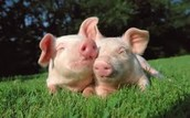 Pigs,