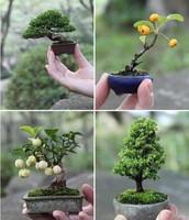 dawarf bonsais
