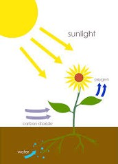 Where does photosynthesis occur in the plant??