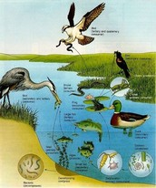 CALLING A WETLAND HOME! ANIMALS/PLANTS