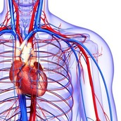 What is in the Circulatory System, and What Does it do?