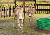 Two Donkeys in a pen.