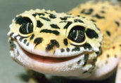Leopard Geckos for the Holiday