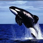 """Famous Whale From """"Free Willy"""" Dies From Sickness"""