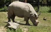 Java Rhino