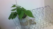 side view of my plant