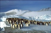 Penguins  Emigrating There Home
