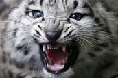 Meowing Snow Leopards