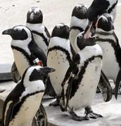 Penguin laying around