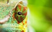 An adaptation of chameleons