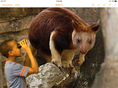 Quest for the tree kangaroo!