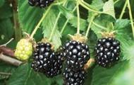 Himilayan Blackberry